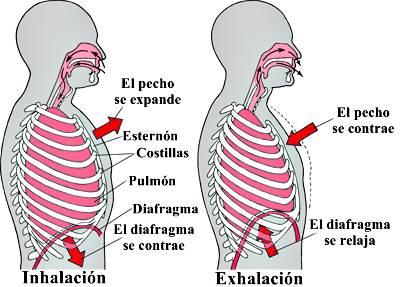 Sistema respiratorio - Control de la respiración
