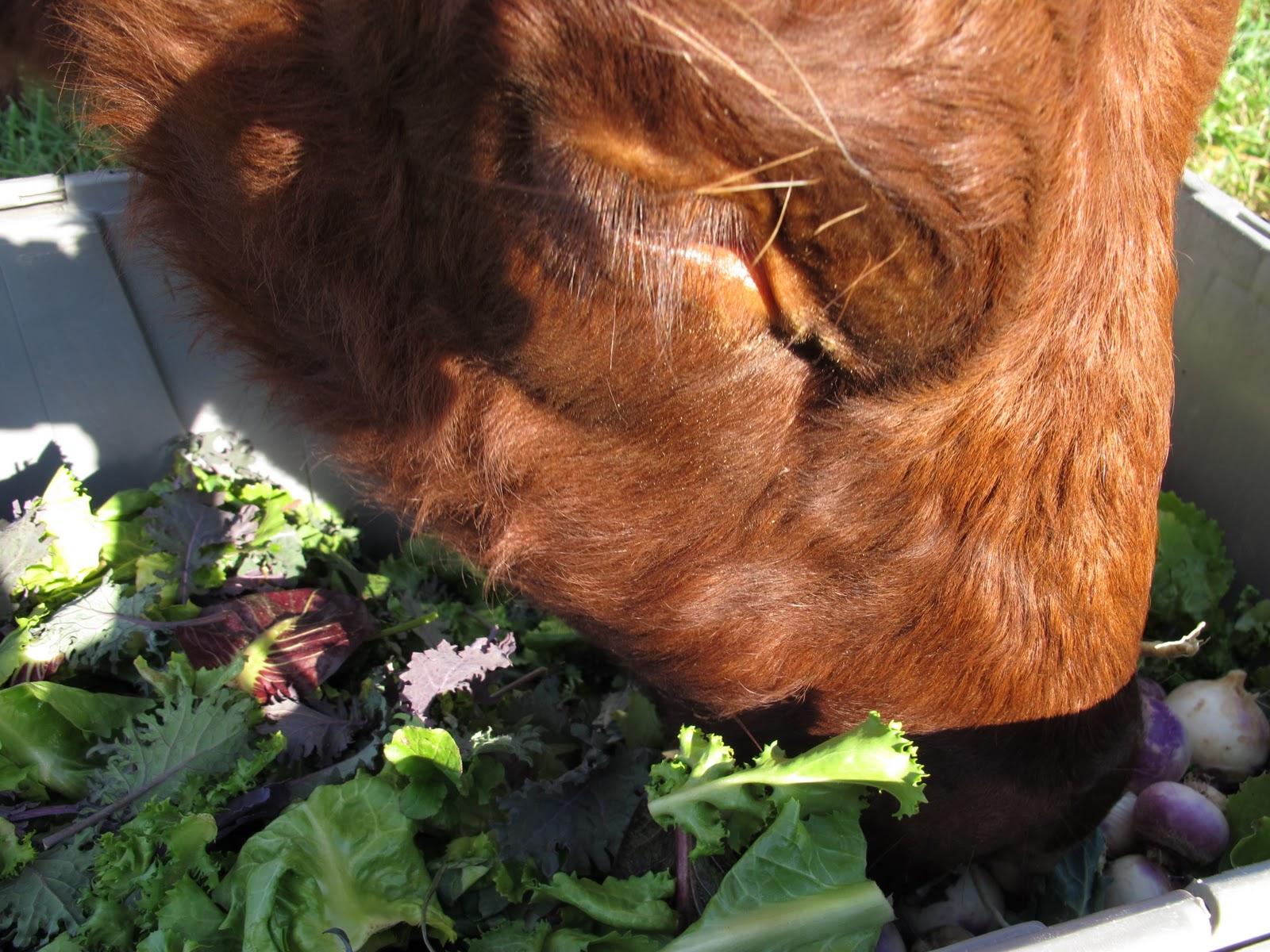 Bbw cow