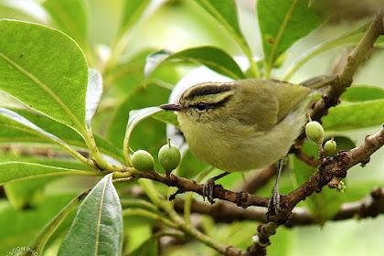 Mengenal Burung Blereng, Masteran Gacor Yang Harganya Terjangkau