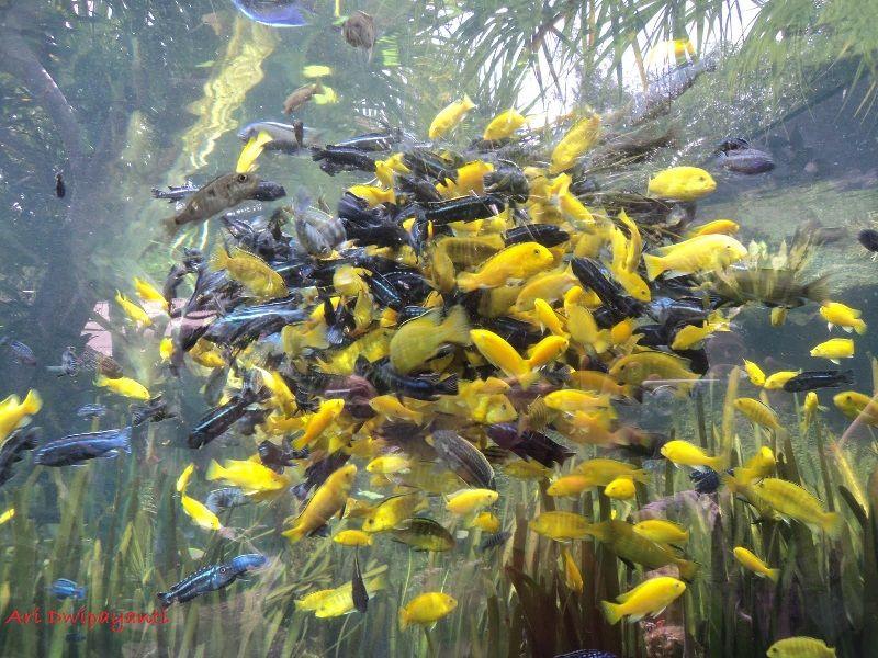 Gambar, Foto Budidaya Ikan Lemon Bisa Menjadi Peluang Usaha Bagi Anda