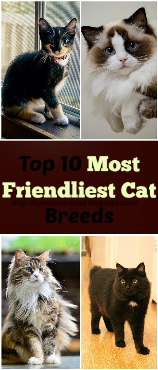 Top 10 Most Friendliest Cat Breeds