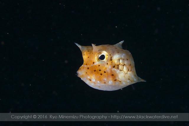 コンゴウフグ属稚魚