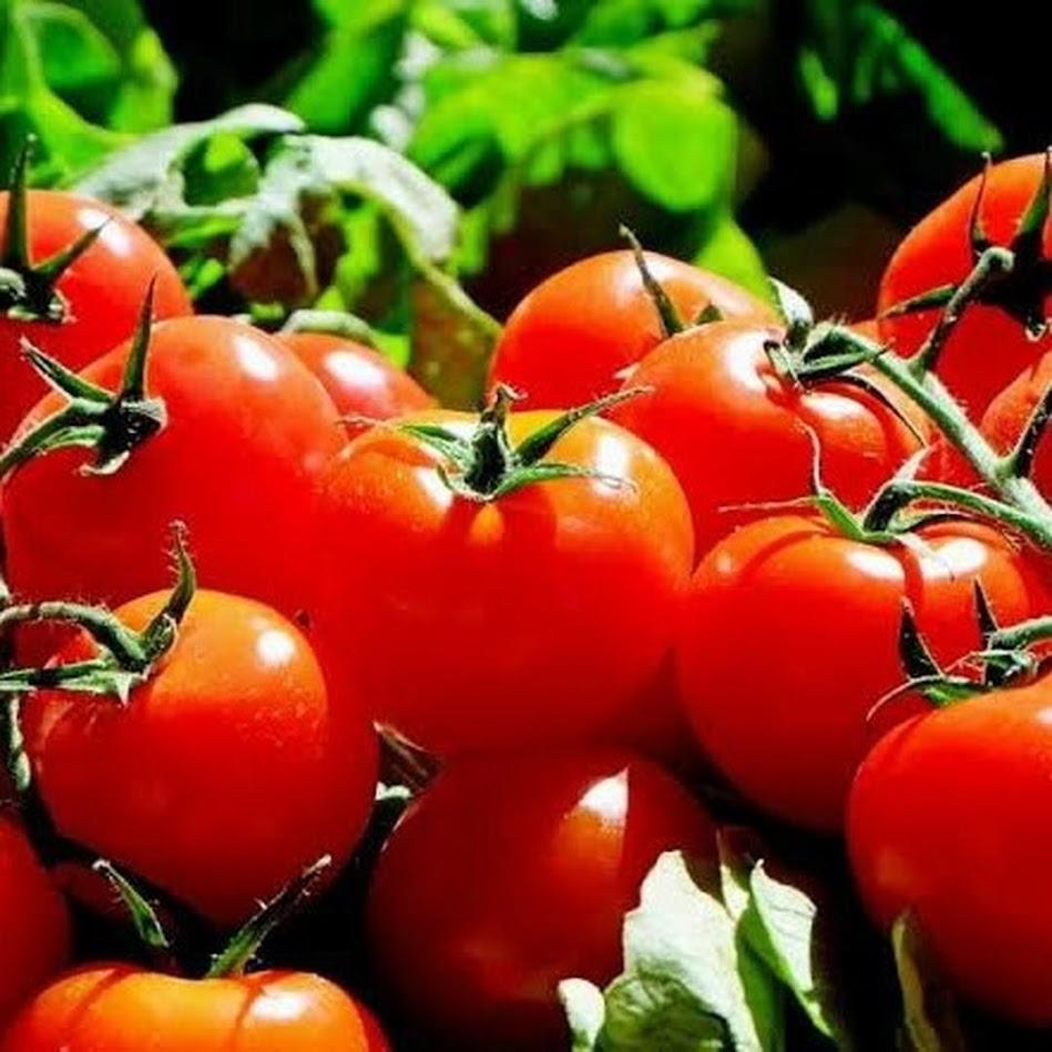 50 Biji Benih Bibit Tomat Merah Besar Big Red Tomato Jawa Barat