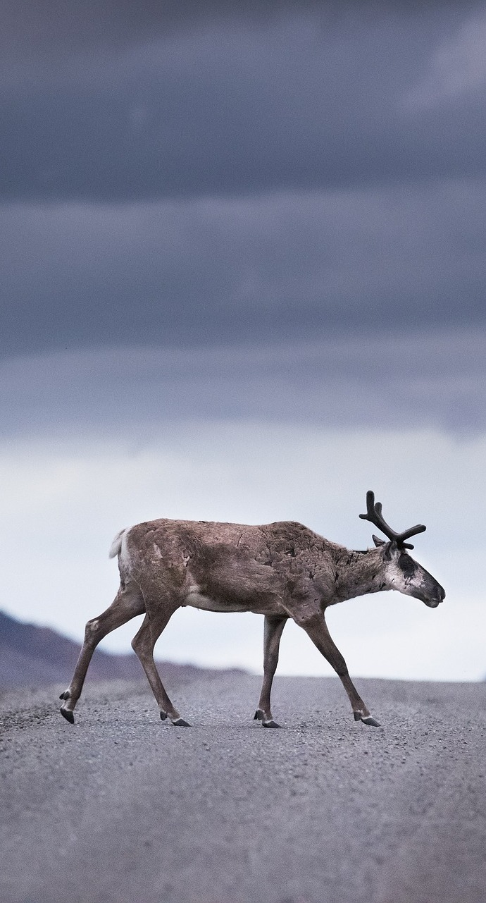 Picture of a caribou crossing a road.