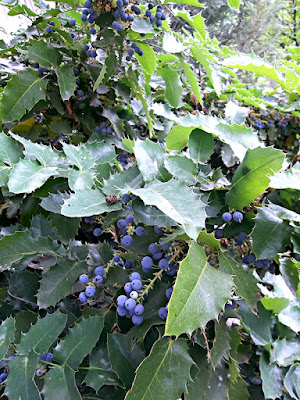 oregon holly grapes