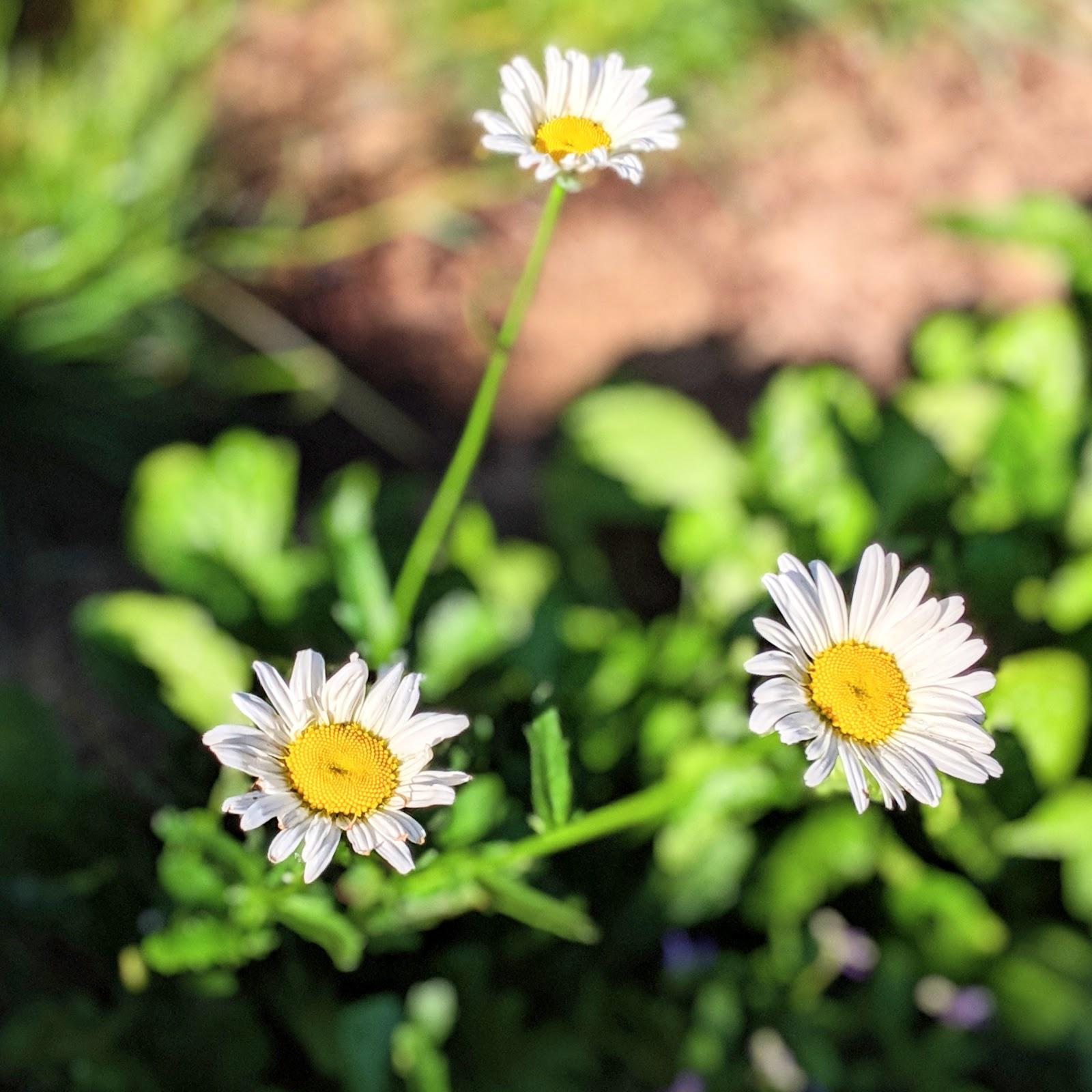 Perennial Daisies