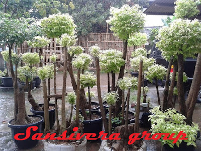 Bonsai-anting-putri