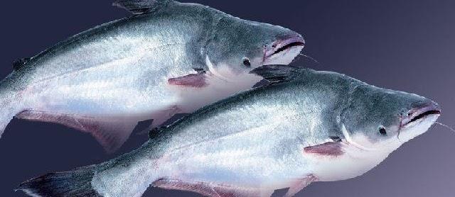 Panduan Lengkap Budidaya Ikan Patin di Kolam Terpal Tanah dan KJA