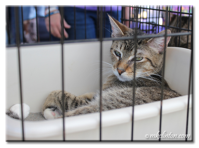 Adoptable cat in a kennel