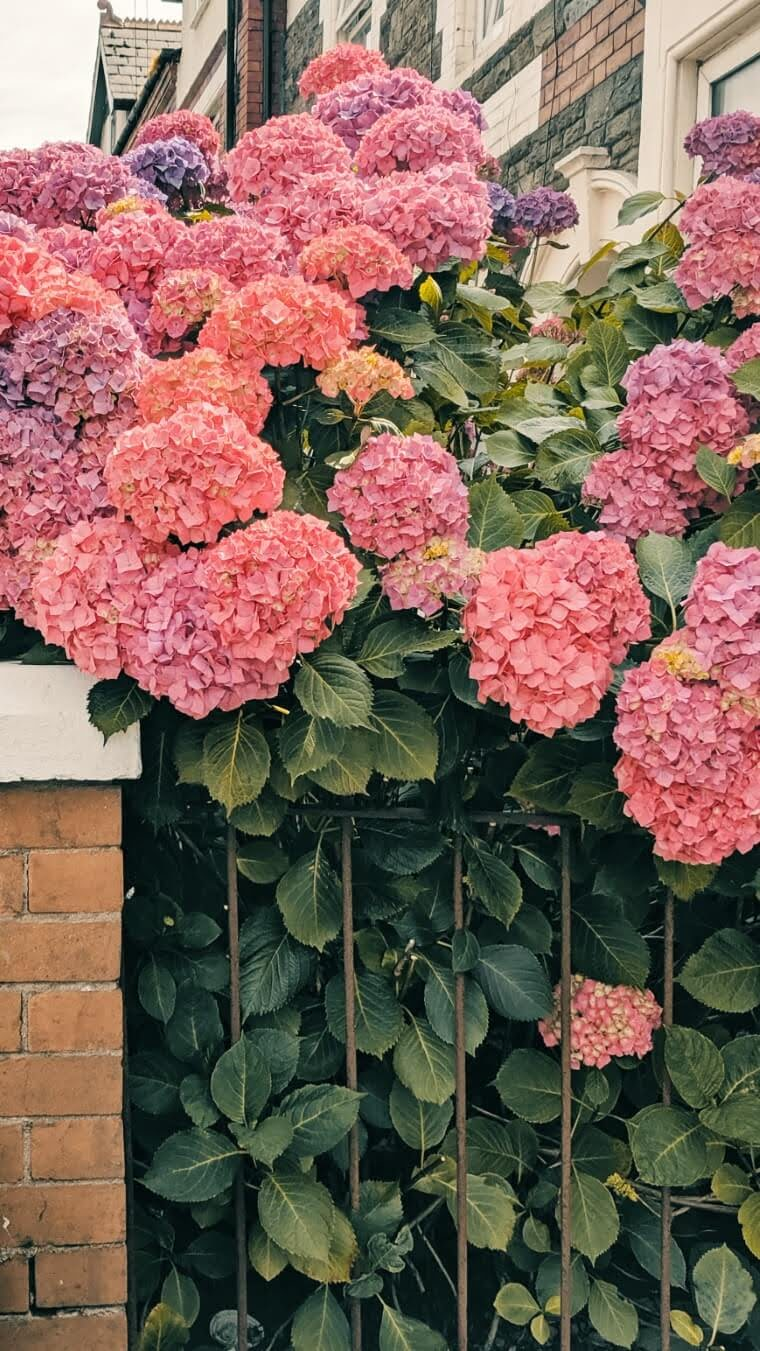 Pink and purple hydrangea behind fence | cardboardcities
