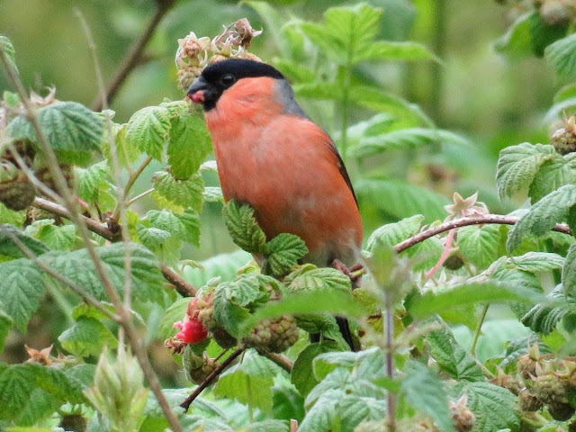 Things to do near Kildare: Bullfinch at Blessington Lake
