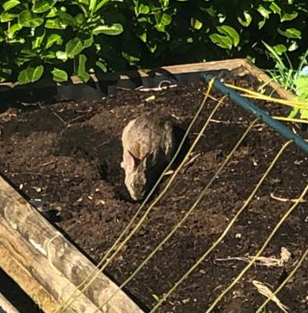A large brown rabbit digging a hole in the vegetable bed