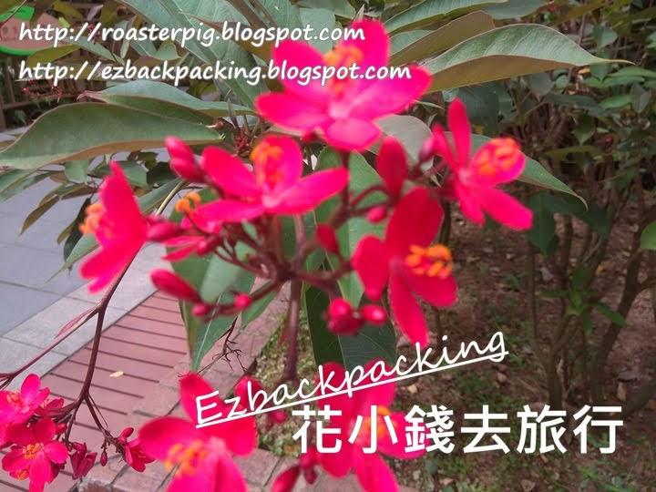 全緣葉珊瑚 香港
