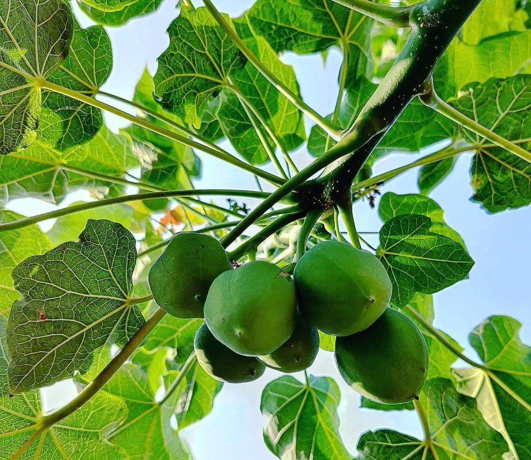 Mengenal Tanaman Jarak Pagar Jatropha Curcas Linnaeus Yang Banyak Manfaat Planter And Forester Gambar tanaman jarak pagar