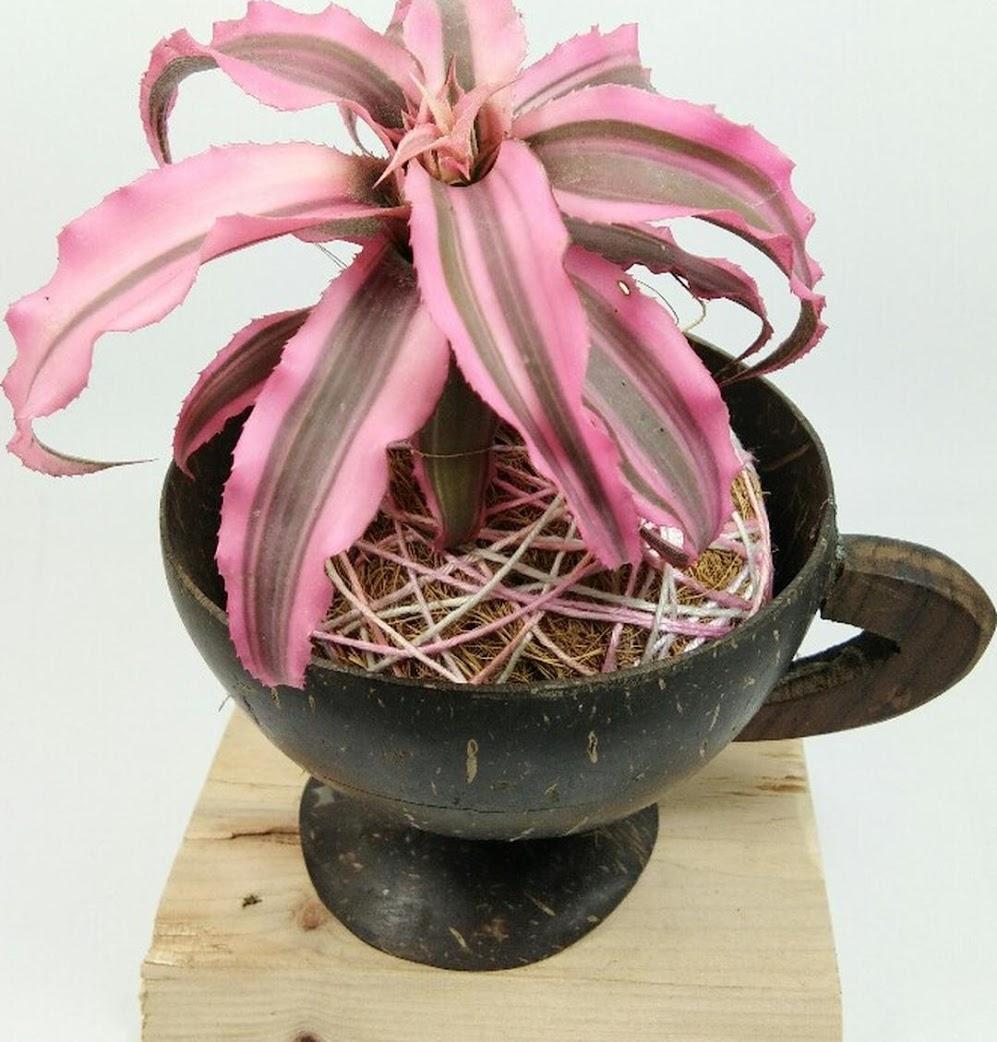 Tanaman kerang nanas Cryptanthus Bivittatus Tanaman Bunga Bromelia Mini Sumatra Selatan