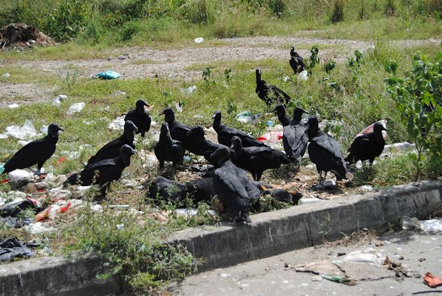 En Mérida están vendiendo carne de Zamuro como si fuera de Pollo