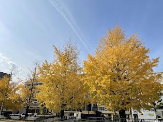 京都の銀杏も色付きました