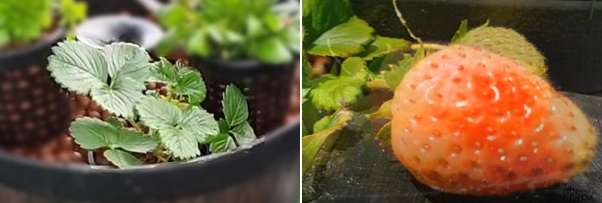 How to grow strawberry in a fish pond