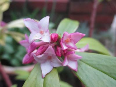 Winter scented shrubs Daphne odora Green Fingered Blog