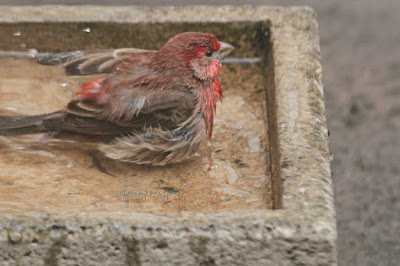 """This image features a male House finch in a cement bird bath that is on my garden floor. He is sitting in the water with his legs tucked under his body. Most of his body is visible and not immersed in water. The right side of his face, beak and one of his eyes can be seen. The expression on his face is intense. His right wings is pressed against either side of his body, the left one is slightly raised. House finches are featured in volume one of my book series, """"Words In Our Beak.""""  Info re these books is in another post on my blog @ https://www.thelastleafgardener.com/2018/10/one-sheet-book-series-info.html"""