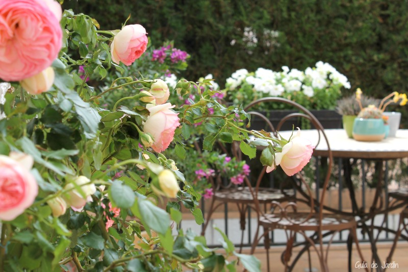 El rosal trepador Pierre de Ronsard