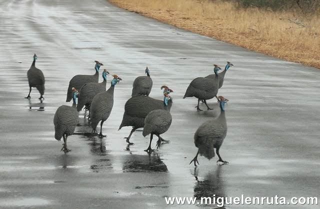 Gallinas-Guinea-Kruger