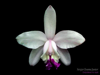 Orquídea Cattleya intermedia