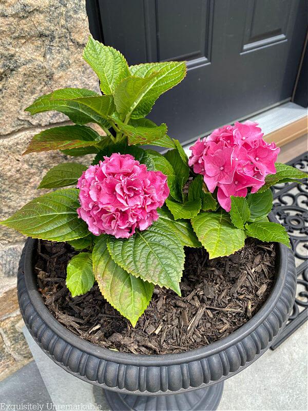 Pink Hydrangeas in a black urn pot