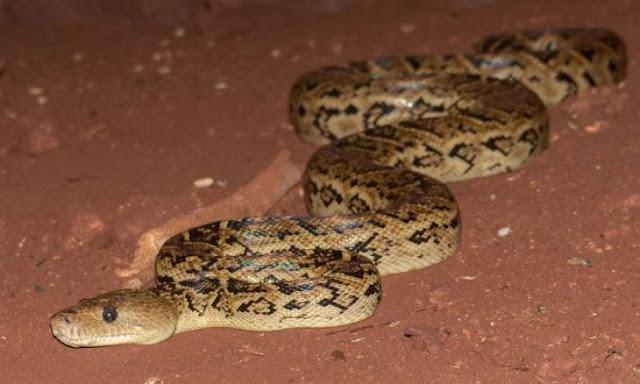 Tu peor pesadilla hecha realidad: científicos encuentran serpientes que cazan en grupo