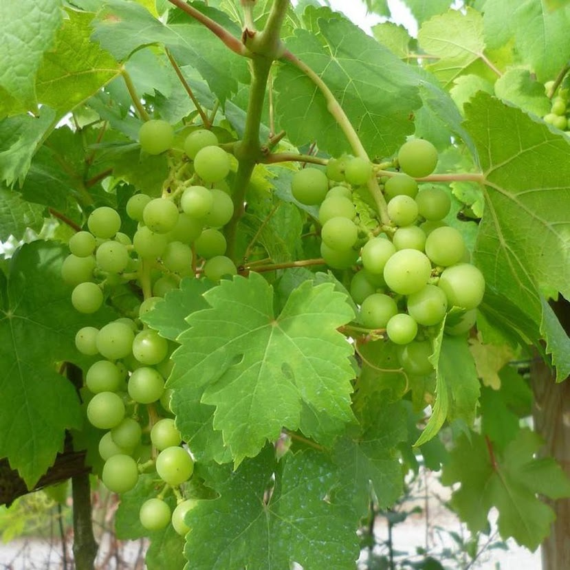 Bibit Buah Anggur Hijau Sulawesi Utara