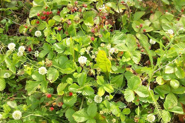 ягода - земляника