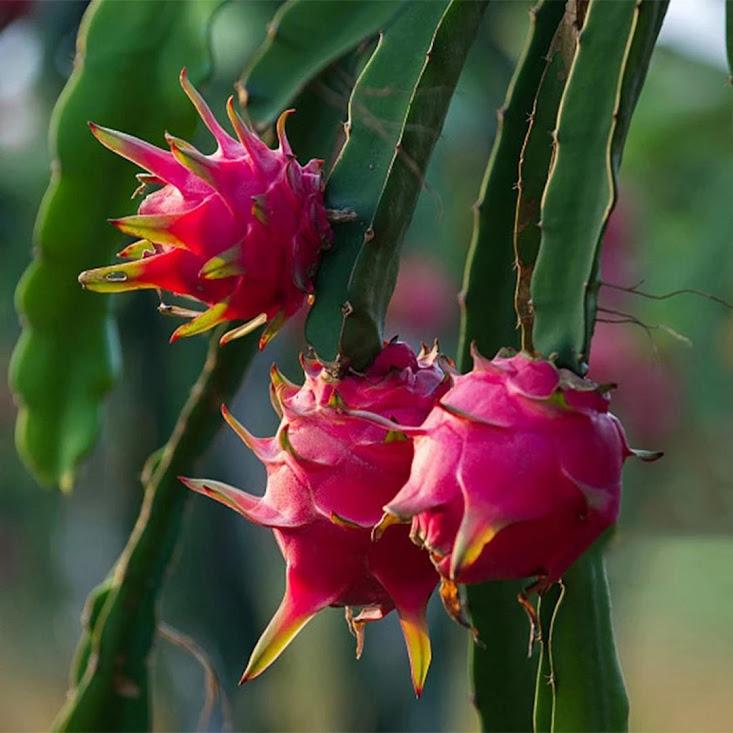 50 Biji Benih Bibit Buah Naga Merah Dragon Fruit Seed Tegal