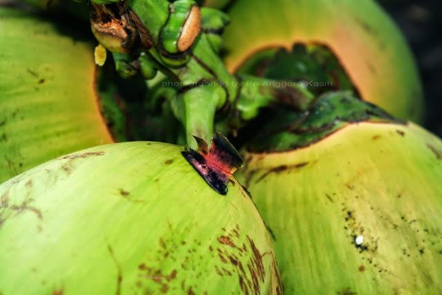 Kelapa hijau atau kelapa camani memiliki pangkal tangkai berwana merah.