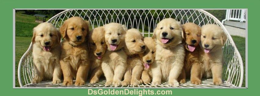 Golden Retriever Puppy Breeder