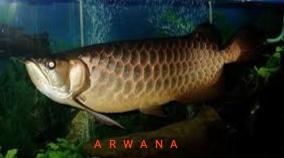 Ikan arwana menggigit ekor