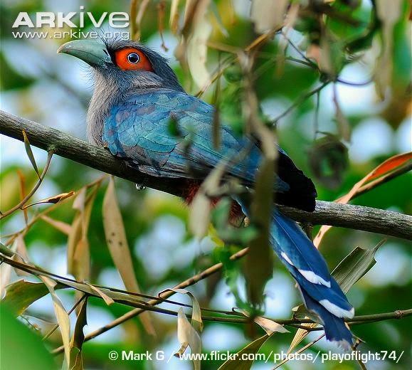 Malcoha vientre rufo: Phaenicophaeus sumatranus