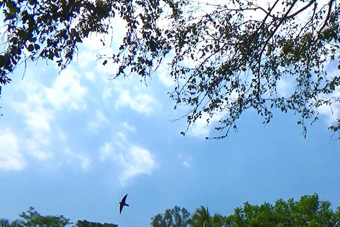 Dlium White-nest swiftlet (Aerodramus fuciphagus)