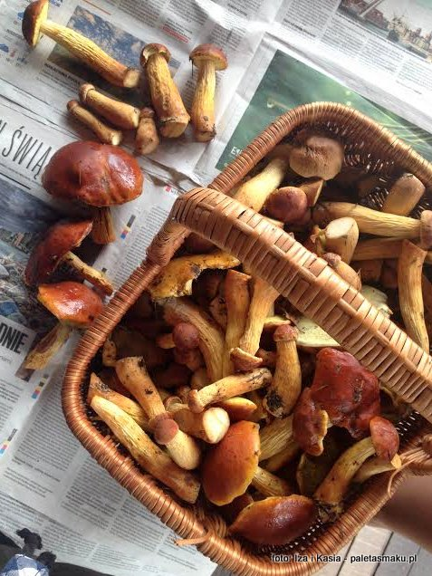borowik wysmukły , borowik wrzosowy , złotak wyniosły , borowiki , las sosnowy , mikoryza , mykologia , atlas grzybów , gatunek inwazyjny , grzyby gatunkami , grzybobranie, podborowik, borowik łebski
