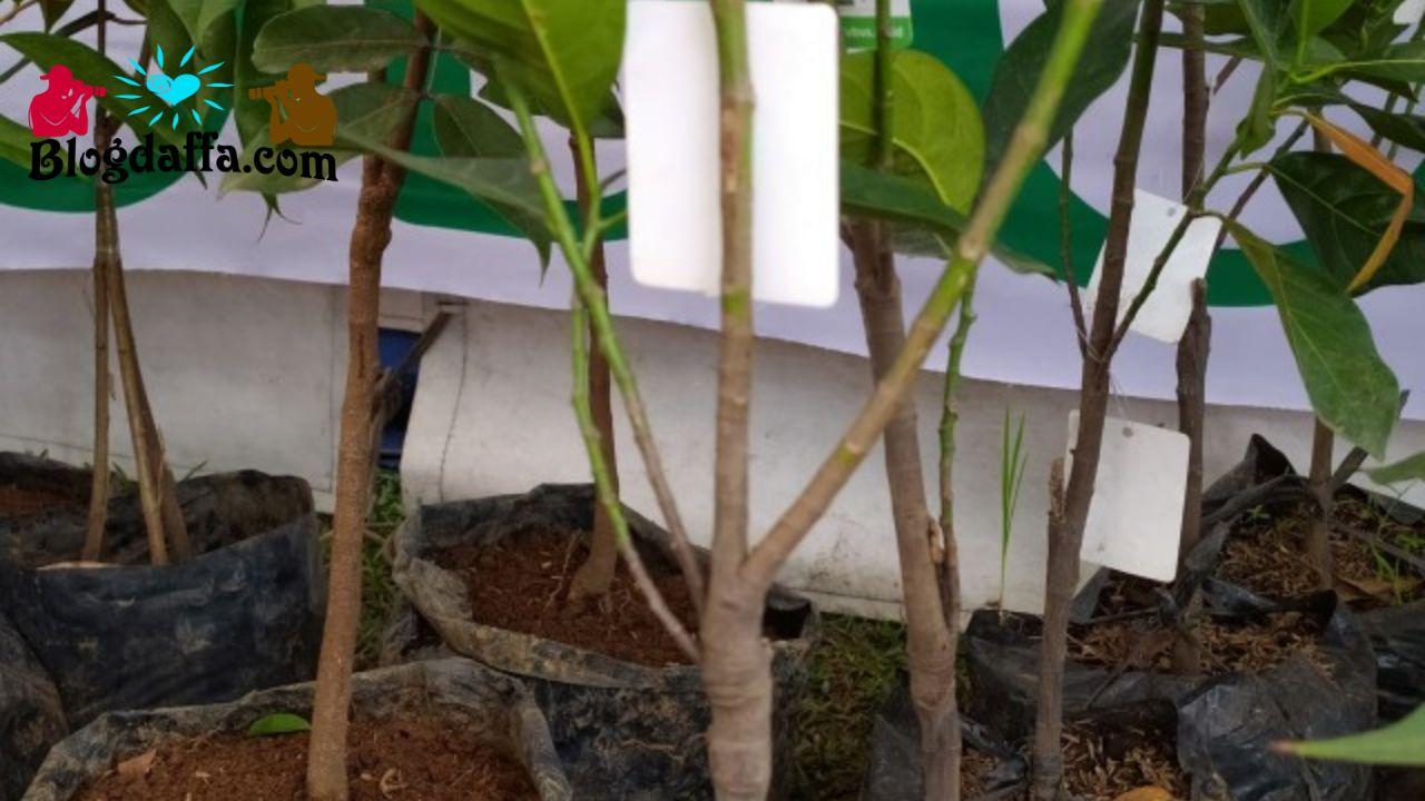 Bibit memiliki batang yang proporsional