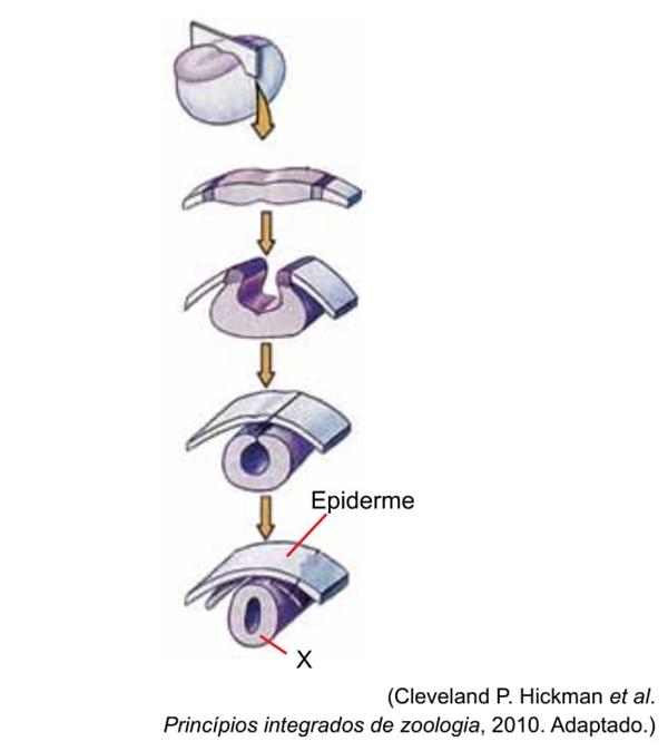 figura mostra a formação de uma estrutura embrionária X