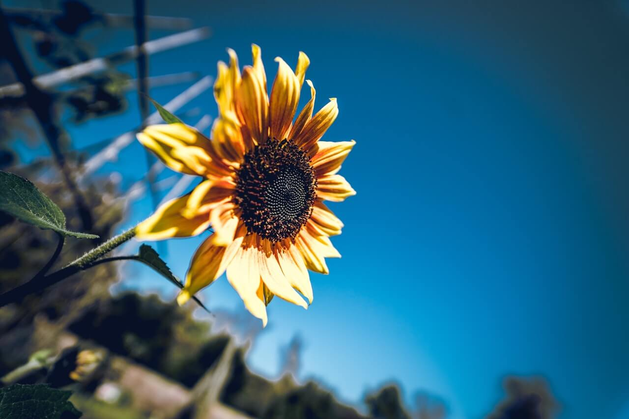 Photography of Sunflower HD Copyright Free Image