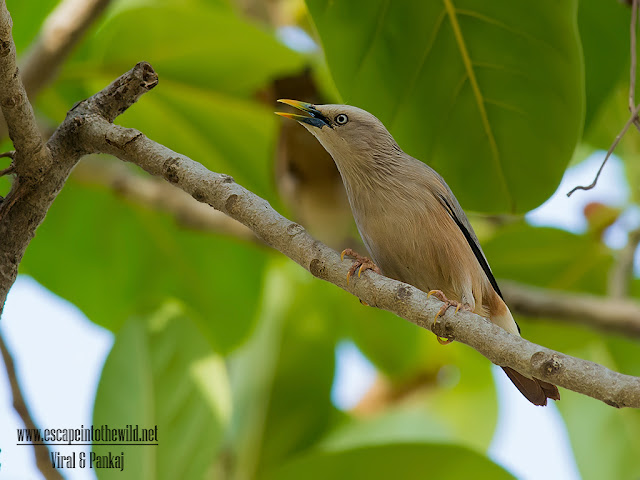grey-headed myna