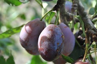 Prunes in tamil