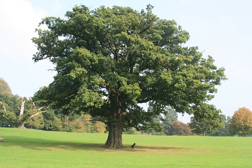 Ciri Ciri Pohon Oak
