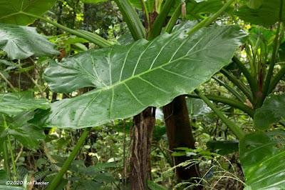 บอนก้านเดียว Colocasia navicularis