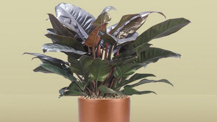 Tanaman Hias Organik Penghilang Racun, Jenis Philodendron, philodendron bipinnatifidum, philodendron lower classifications, philodendron hederaceum, philodendron xanadu, philodendron care, philodendron erubescens, philodendron types, philodendron cordatum, harga Philodendron, bibit Philodendron, cara merawat Philodendron, manfaat Philodendron, jual Philodendron bunga Philodendron