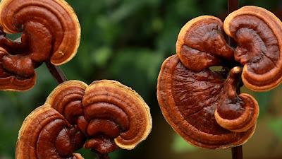 Ganoderma mushroom center in Bangalore