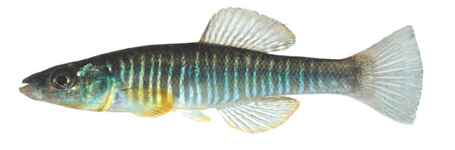 Scientists did some decent research on why killifish survive in areas others cannot, then they commenced to seeing evolution that is not there, and telling stories.