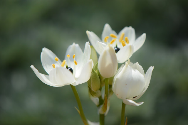 ornithogalum, arabicum, star of bethlehem,  spring bulbs, desert garden, small sunny garden, photography, amy myers