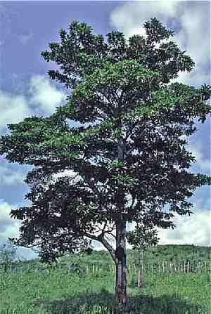 Jenipapo (Genipa americana) | Fruto do Jenipapeiro
